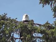 Eagle in Tree 2 Alaska