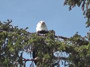 Eagle in Tree 2 Alaska