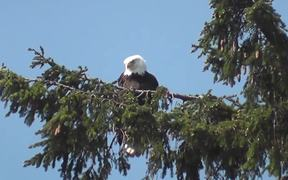 Eagle in Tree Medium Alaska