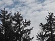 Eagle In Tree Zoom In Shadow Alaska