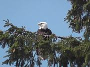 Eagle in Tree Medium Alaska
