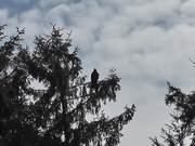 Eagle In Tree Zoom In Shadow Alaska