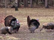 Male Turkeys Display and Walk while Females