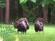 Turkeys Display Feathers for Mating and Attracting