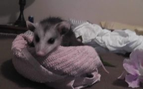 Opossum Baby Possum Rescued On Bed