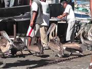 Pelicans Eating Butchered Swordfish Cabo San Lucas