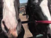 Premarin Horse Rescued LARC