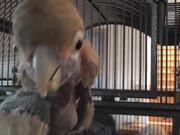 Rescue Cockatoo Close Up Face LARC