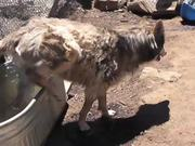 Rescue Wolf Dog Mix Bathing Standing Water LARC