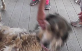 Rescue Wolf Dog Mix Rolls On Back2 LARC