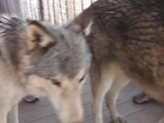 Rescue Wolf Dog Mix Scratches Himself LARC