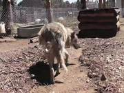 Rescue Wolf Dog Mix Walks Feet Harmony LARC