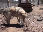 Rescue Wolf Dog Mix Walks Feet Harmony LARC
