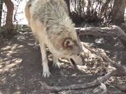 Rescue Wolf Dog Walks By Branches LARC