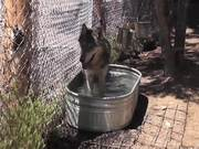 Rescue Wolf in Water Walks Away LARC