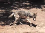 Rescue Wolf in Water Walks Away LARC