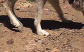 Rescue Wolf Walking On Dirt LARC