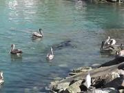 Sea Lion Swimming With Pelicans Cabo San Lucas