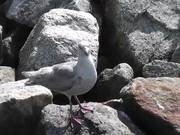 Seagull Standing On Rocks Alaska Mohr Productions