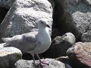 Seagull Standing On Rocks Alaska Mohr Productions