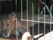 TigerCub Locked in CageFor Photos CaboSanLucas