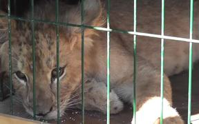 TigerCub Locked in CageFor Photos CaboSanLucas