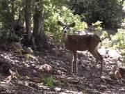 Two Deer Walking 2 in Wilderness Julian