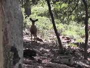 Two Deer Walking 2 in Wilderness Julian