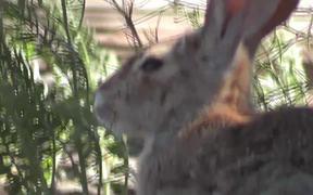 Wild Rabbit Hare LARC