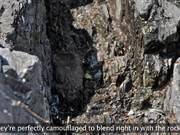 Kenai Fjords NP: Black Oystercatcher Productivity