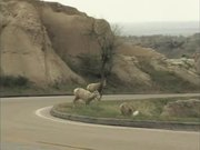 Badlands National Park: Wildlife