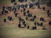 Badlands National Park: Bison Conservation