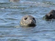 Seals of Cape Cod National Seashore