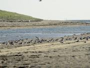 Cape Cod NS: Shorebirds at the Seashore