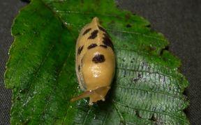 Redwood National and State Parks: Banana Slugs
