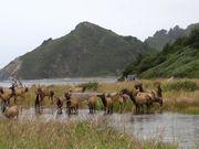 Redwood National and State Parks: Roosevelt Elk