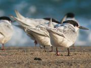 Cape Cod NS: Shorebirds at the Seashore