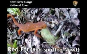 New River Gorge National River: Red Eft