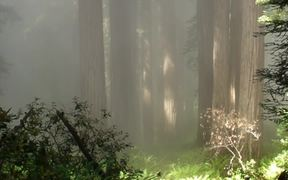 Redwood National and SP: Fog in the Redwoods