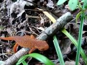 New River Gorge National River: Red Eft