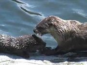 Yellowstone National Park: River Otters