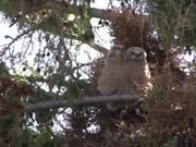 Yellowstone National Park: Backyard Owls
