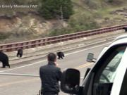 Yellowstone National Park: Bear Jams