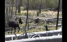 Yellowstone National Park: Moose