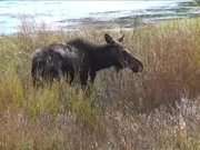 Yellowstone National Park: Moose