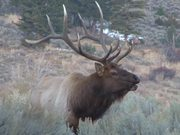 Yellowstone National Park: Elk Bugle One
