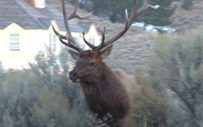 Yellowstone National Park: Elk Bugle One