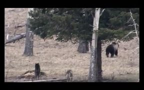 Yellowstone NP: The Generation of the Wolf