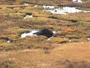 Yellowstone National Park: Beavers