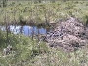 Yellowstone National Park: Beavers